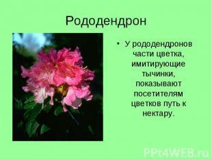 У рододендронов части цветка, имитирующие тычинки, показывают посетителям цветко