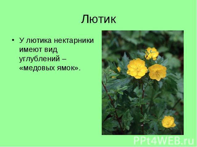 У лютика нектарники имеют вид углублений – «медовых ямок». У лютика нектарники имеют вид углублений – «медовых ямок».