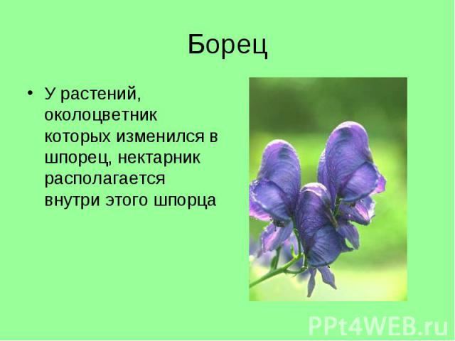 У растений, околоцветник которых изменился в шпорец, нектарник располагается внутри этого шпорца У растений, околоцветник которых изменился в шпорец, нектарник располагается внутри этого шпорца
