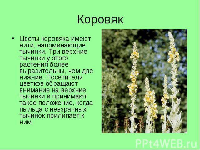 Цветы коровяка имеют нити, напоминающие тычинки. Три верхние тычинки у этого растения более выразительны, чем две нижние. Посетители цветков обращают внимание на верхние тычинки и принимают такое положение, когда пыльца с невзрачных тычинок прилипае…