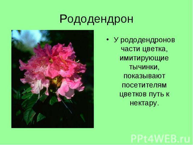 У рододендронов части цветка, имитирующие тычинки, показывают посетителям цветков путь к нектару. У рододендронов части цветка, имитирующие тычинки, показывают посетителям цветков путь к нектару.