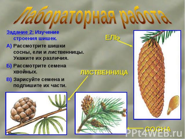 Задание 2: Изучение строения шишек. Задание 2: Изучение строения шишек. А) Рассмотрите шишки сосны, ели и лиственницы. Укажите их различия. Б) Рассмотрите семена хвойных. В) Зарисуйте семена и подпишите их части.