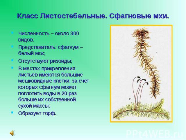 Численность – около 300 видов; Численность – около 300 видов; Представитель: сфагнум – белый мох; Отсутствуют ризоиды; В местах прикрепления листьев имеются большие мешковидные клетки, за счет которых сфагнум может поглотить воды в 20 раз больше их …