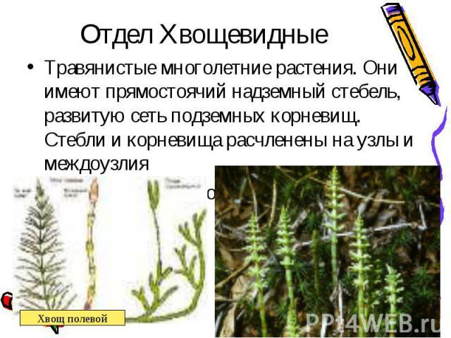 Травянистые многолетние растения. Они имеют прямостоячий надземный стебель, развитую сеть подземных корневищ. Стебли и корневища расчленены на узлы и междоузлия Травянистые многолетние растения. Они имеют прямостоячий надземный стебель, развитую сет…