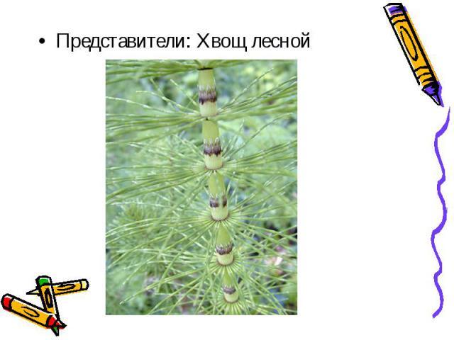 Представители: Хвощ лесной Представители: Хвощ лесной