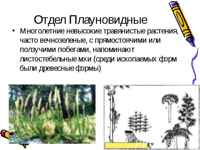 Многолетние невысокие травянистые растения, часто вечнозеленые, с прямостоячими или ползучими побегами, напоминают листостебельные мхи (среди ископаемых форм были древесные формы) Многолетние невысокие травянистые растения, часто вечнозеленые, с пря…