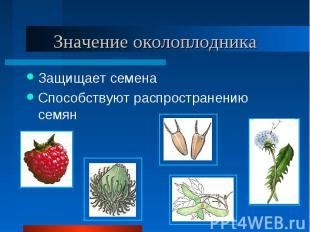 Защищает семена Защищает семена Способствуют распространению семян