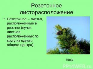 Розеточное–листья, расположенные в розетке (пучок листьев, расположе
