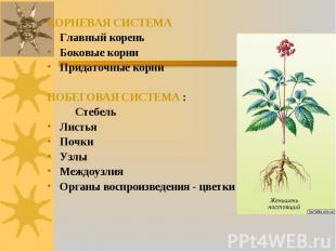 КОРНЕВАЯ СИСТЕМА Главный корень Боковые корни Придаточные корни ПОБЕГОВАЯ СИСТЕМ