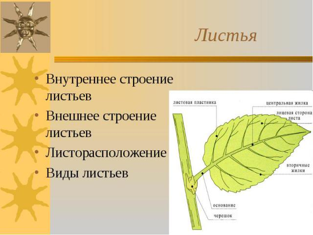 Внутреннее строение листьев Внутреннее строение листьев Внешнее строение листьев Листорасположение Виды листьев