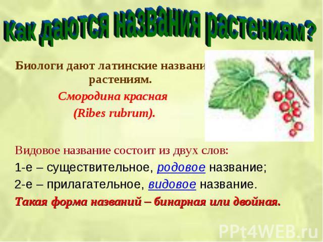 Биологи дают латинские названия растениям. Биологи дают латинские названия растениям. Смородина красная (Ribes rubrum).