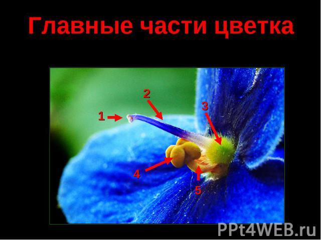 Главные части цветка