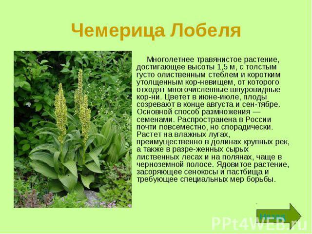Многолетнее травянистое растение, достигающее высоты 1,5 м, с толстым густо олиственным стеблем и коротким утолщенным корневищем, от которого отходят многочисленные шнуровидные корни. Цветет в июне-июле, плоды созревают в конце августа и с…