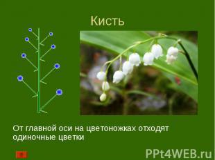 От главной оси на цветоножках отходят одиночные цветки От главной оси на цветоно