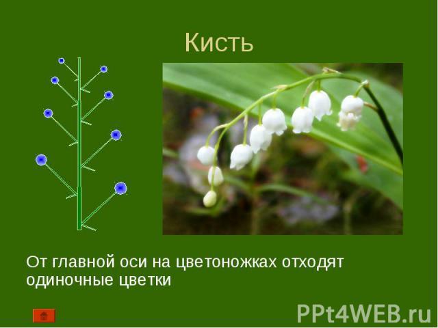 От главной оси на цветоножках отходят одиночные цветки От главной оси на цветоножках отходят одиночные цветки
