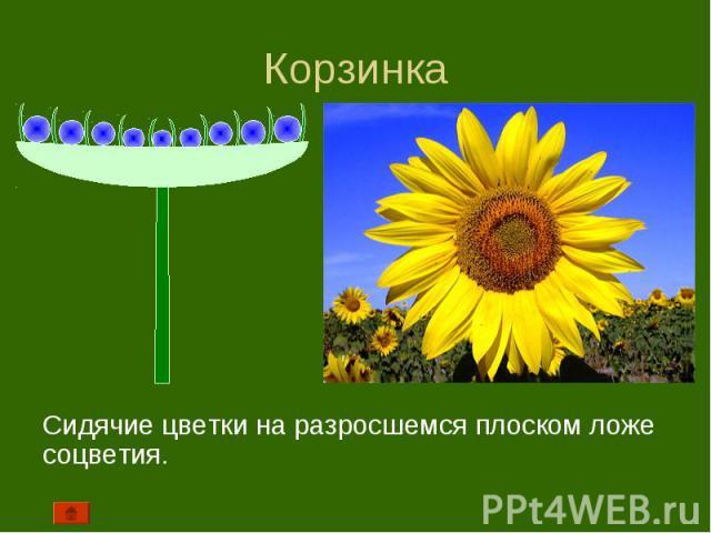 Сидячие цветки на разросшемся плоском ложе соцветия. Сидячие цветки на разросшемся плоском ложе соцветия.