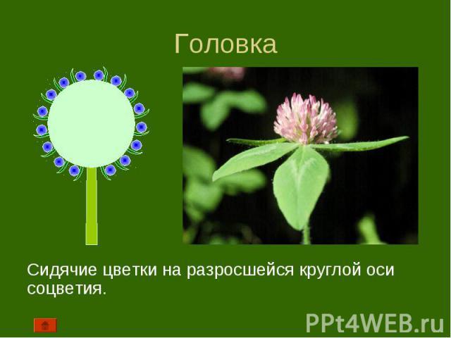 Сидячие цветки на разросшейся круглой оси соцветия. Сидячие цветки на разросшейся круглой оси соцветия.
