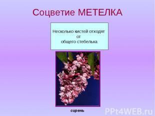 Соцветие МЕТЕЛКА