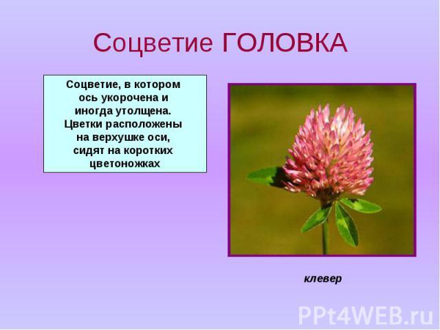 Соцветие ГОЛОВКА