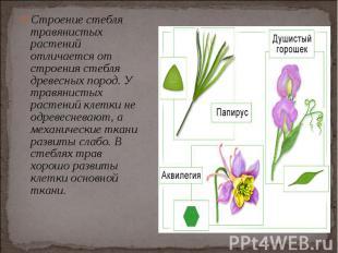 Строение стебля травянистых растений отличается от строения стебля древесных пор