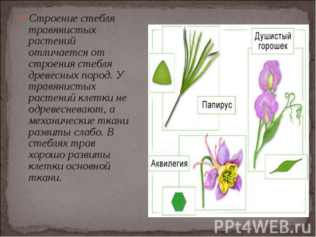 Строение стебля травянистых растений отличается от строения стебля древесных пород. У травянистых растений клетки не одревесневают, а механические ткани развиты слабо. В стеблях трав хорошо развиты клетки основной ткани. Строение стебля травянистых …