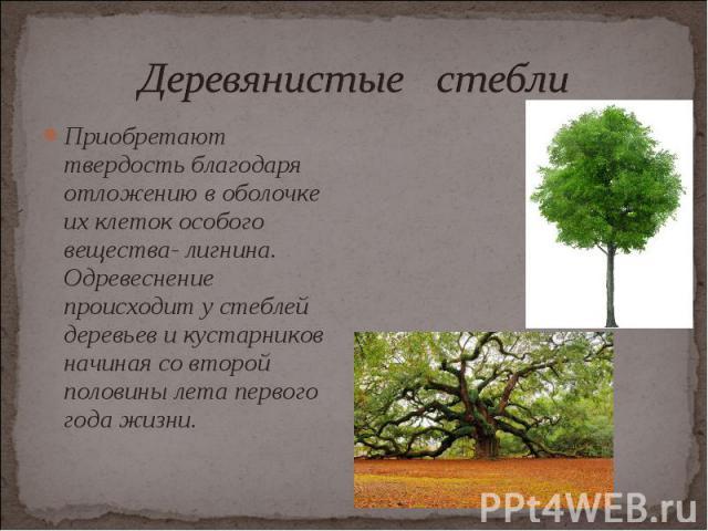 Приобретают твердость благодаря отложению в оболочке их клеток особого вещества- лигнина. Одревеснение происходит у стеблей деревьев и кустарников начиная со второй половины лета первого года жизни. Приобретают твердость благодаря отложению в оболоч…