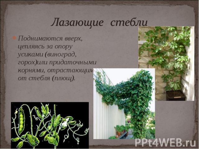 Поднимаются вверх, цепляясь за опору усиками (виноград, горох)или придаточными корнями, отрастающими от стебля (плющ). Поднимаются вверх, цепляясь за опору усиками (виноград, горох)или придаточными корнями, отрастающими от стебля (плющ).