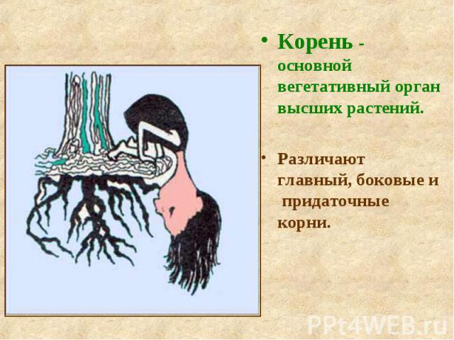 Корень - основной вегетативный орган высших растений. Корень - основной вегетативный орган высших растений. Различают главный, боковые и придаточные корни.