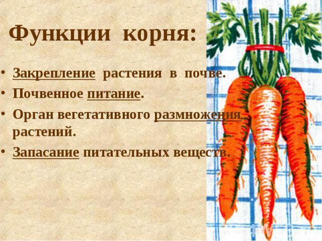 Функции корня: Закрепление растения в почве. Почвенное питание. Орган вегетативного размножения растений. Запасание питательных веществ.