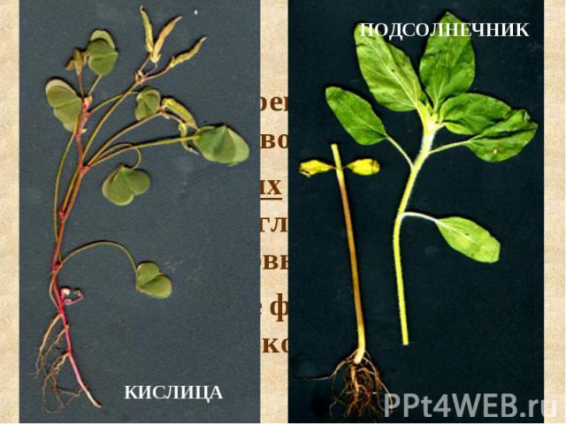 Главный корень развивается из зародышевого корешка. У двудольных и голосеменных растений от главного корня отходят боковые корни. В результате формируется стержневая корневая система.