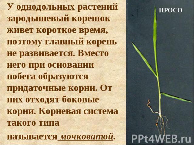 У однодольных растений зародышевый корешок живет короткое время, поэтому главный корень не развивается. Вместо него при основании побега образуются придаточные корни. От них отходят боковые корни. Корневая система такого типа называется мочковатой.