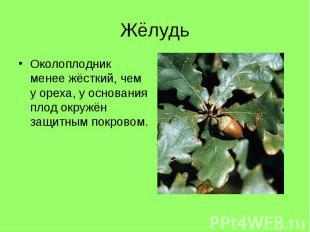 Околоплодник менее жёсткий, чем у ореха, у основания плод окружён защитным покро