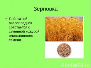 Плёнчатый околоплодник срастается с семенной кожурой единственного семени. Плёнч