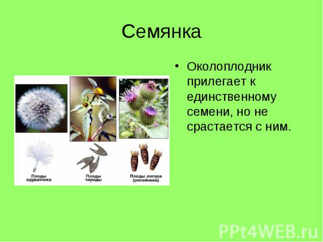 Околоплодник прилегает к единственному семени, но не срастается с ним. Околоплодник прилегает к единственному семени, но не срастается с ним.