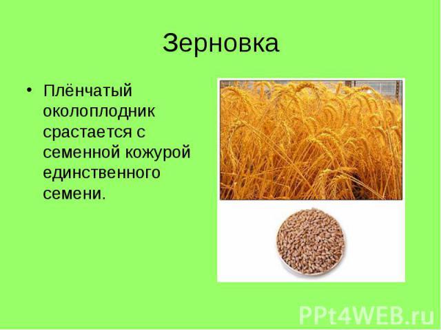Плёнчатый околоплодник срастается с семенной кожурой единственного семени. Плёнчатый околоплодник срастается с семенной кожурой единственного семени.