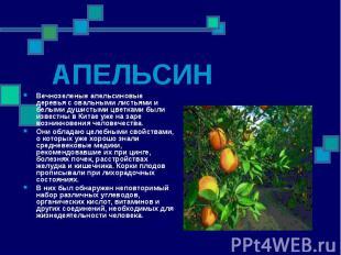 Вечнозеленые апельсиновые деревья с овальными листьями и белыми душистыми цветка