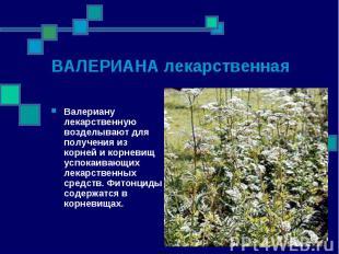 Валериану лекарственную возделывают для получения из корней и корневищ успокаива