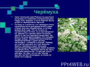 Свое латинское имя (Padus) это растение получило по названию итальянской реки Па