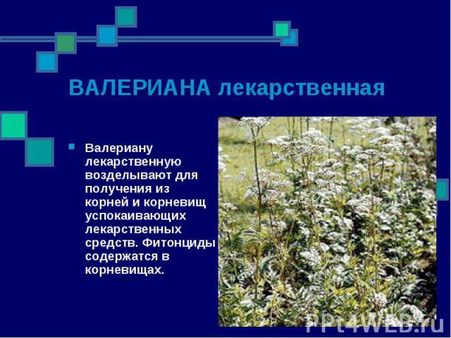 Валериану лекарственную возделывают для получения из корней и корневищ успокаивающих лекарственных средств. Фитонциды содержатся в корневищах. Валериану лекарственную возделывают для получения из корней и корневищ успокаивающих лекарственных средств…
