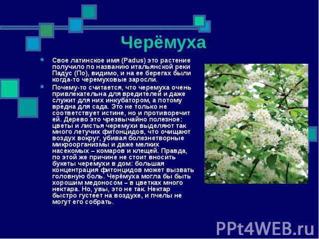 Свое латинское имя (Padus) это растение получило по названию итальянской реки Падус (По), видимо, и на ее берегах были когда-то черемуховые заросли. Свое латинское имя (Padus) это растение получило по названию итальянской реки Падус (По), видимо, и …