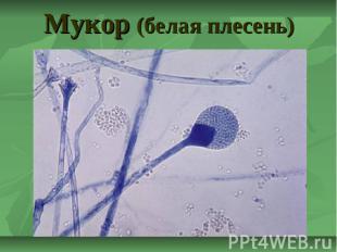 Мукор (белая плесень)