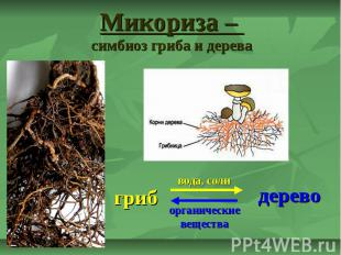 Микориза – симбиоз гриба и дерева