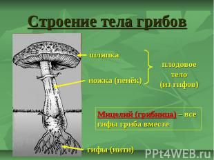 Строение тела грибов