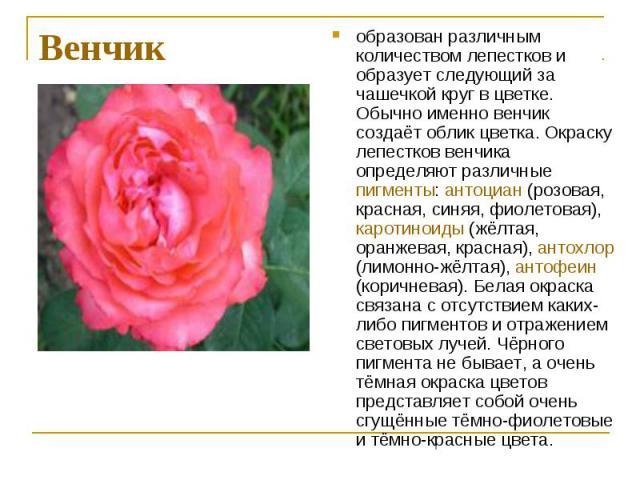 образован различным количеством лепестков и образует следующий за чашечкой круг в цветке. Обычно именно венчик создаёт облик цветка. Окраску лепестков венчика определяют различные пигменты: антоциан (розовая, красная, синяя, фиолетовая), каротиноиды…