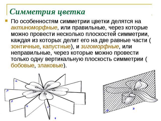 По особенностям симметрии цветки делятся на актиноморфные, или правильные, через которые можно провести несколько плоскостей симметрии, каждая из которых делит его на две равные части (зонтичные, капустные), и зигоморфные, или неправильные, через ко…