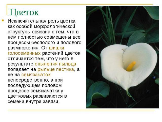 Исключительная роль цветка как особой морфологической структуры связана с тем, что в нём полностью совмещены все процессы бесполого и полового размножения. От шишки голосеменных растений цветок отличается тем, что у него в результате опыления пыльца…
