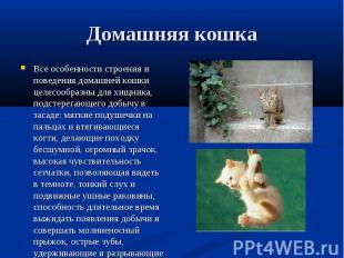 Все особенности строения и поведения домашней кошки целесообразны для хищника, п