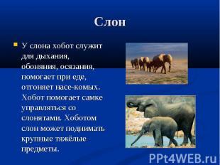 У слона хобот служит для дыхания, обоняния, осязания, помогает при еде, отгоняет