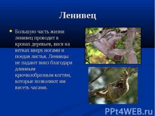 Большую часть жизни ленивец проводит в кронах деревьев, вися на ветках вверх ног