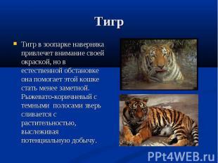 Тигр в зоопарке наверняка привлечет внимание своей окраской, но в естественной о